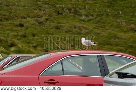 Red Billed Gull Larus Novaehollandiae Scopulinus Walking On A Roof Of A Car. Taiaroa Head. Otago Pen