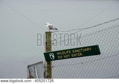 Red-billed Gull Chroicocephalus Novaehollandiae Scopulinus. Pilots Beach. Taiaroa Head Wildlife Rese