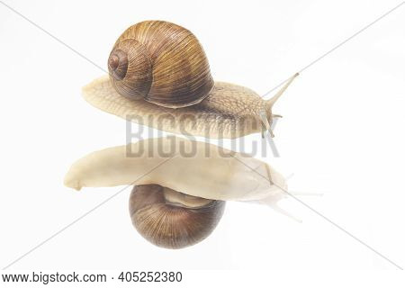Helix Pomatia. Snails On Transparent Glass. Mollusc And Invertebrate. Delicacy Meat And Gourmet Food