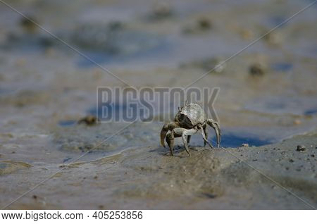Tunnelling Mud Crab Austrohelice Crassa. Hoopers Inlet. Otago Peninsula. Otago. South Island. New Ze