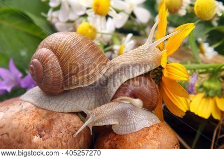 Grape Snail Crawling Over Mushrooms Against A Background Of Flowers. Mollusc And Invertebrate