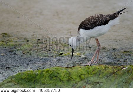 Pied Stilt Himantopus Leucocephalus. Juvenile Searching For Food. Hoopers Inlet. Otago Peninsula. Ot