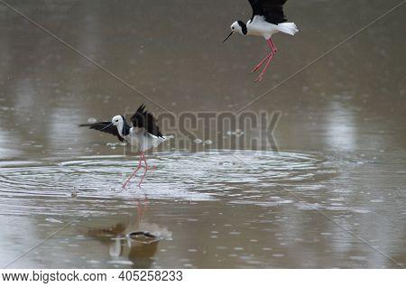 Pied Stilts Himantopus Leucocephalus Fighting. Hoopers Inlet. Otago Peninsula. Otago. South Island.