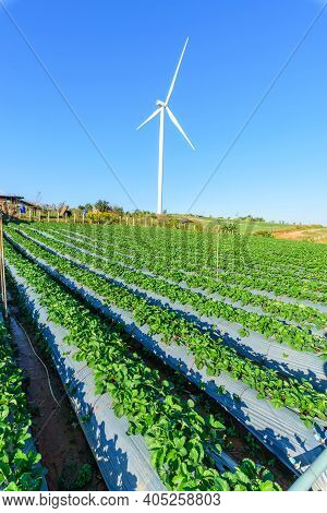 Strawberry Field At  Wind Turbines Park With Blue Sky