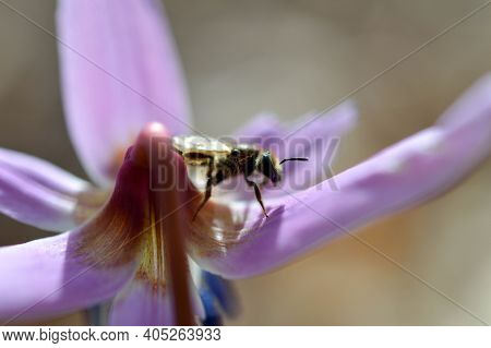 Small Bee On A Erythronium Dens-canis, Dog's Tooth Violet, Fawn Lily, Macro Close Up Of A Bee In An