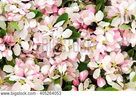 Bumblebees gathering nectar from apple blossom flowers in Spring. Tree bumblebee and red tailed bumblebee. Specific to United Kingdom.