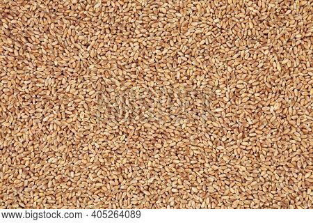 Mulika wheat berries forming an abstract background. Bread making spring wheat with superb grain quality. Flat lay, top view.