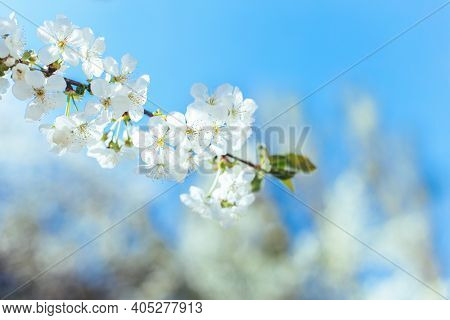 Branch Of A Blossoming Tree On A Garden Background. Spring Blossom. Selective Focus.