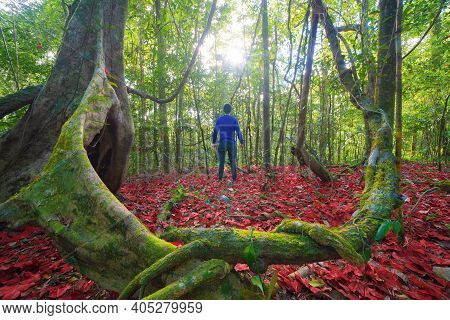 An Asian Tourist, Backpacker Trekking On Trail, Traveling Through A Forest With Red Maple Trees In A