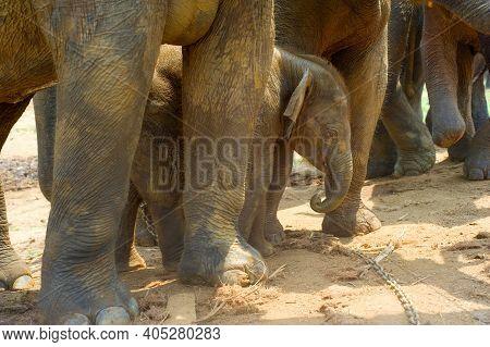 Baby Elephant At Pinnawala Elephants Orphanage. Sri Lanka