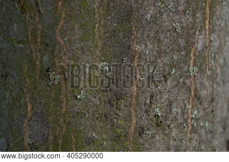 Texture Of Smooth Beech Bark With Gradient