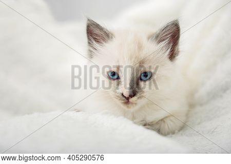 White Kitten With Blue Eyes Gray Ears. Portrait Of Beautiful Fluffy White Kitten. Cat Animal Kitten