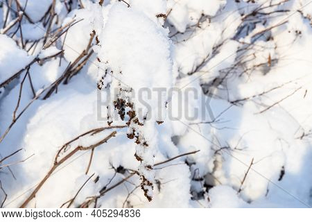 Snowbound Twig Of Hedge Close Up In Village In Cold Sunny Winter Evening (focus On Twig On Foregroun