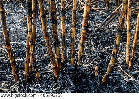 Sugar Cane Burned In Plantation Land, Sugarcane In Harvest Season, Sugarcane Fresh In Plant Field