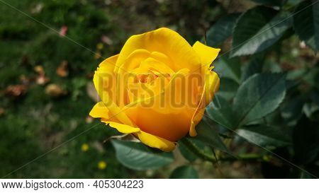 Portrait Background Of Yellow Fully Bloomed Flower Actually Rose In The Garden With Background Blurr