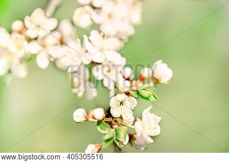 Macro Card, Sakura Blossom, Blurred Bokeh Background, Copy Space. Spring Blossoms