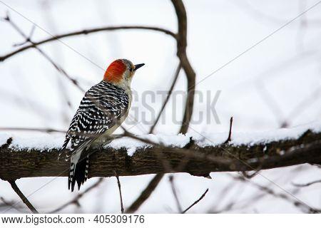 Yellow-bellied woodpecker on tree brunch in winter day