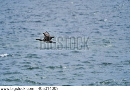 Guano Cormorant In Flight At Paracas National Park At The Pacific Ocean Coast Line Of Peru. Guanay C