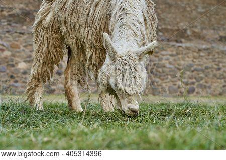 White Lama, Llama, Lama Glama, Grazing In The Ancient Inca Ruins Of Ollantaytambo In The Sacred Vall