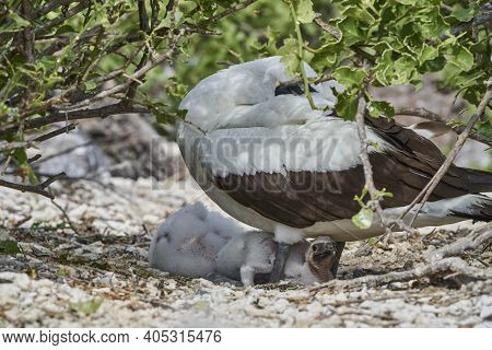 Adult Nazca Booby With Two Chicks In The Nest, Sula Granti, Is A Large White Seabird, With Black Fac