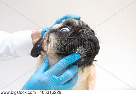Veterinary Doctor In Medical Gloves Lubricates The Dog Wounds With Ointment. Pug Dog With Red Inflam