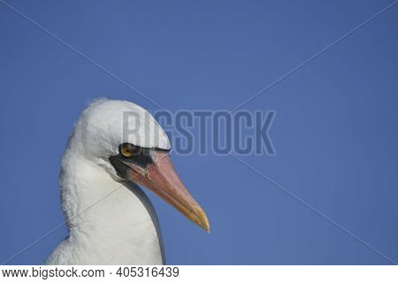 Nazca Booby, Sula Granti, Is A Large White Seabird, With Black Face Mask, Living On Galapagos Island