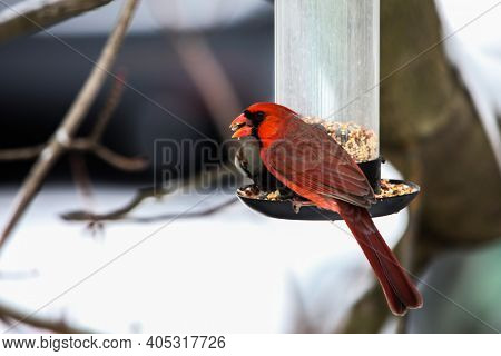 Red cardinal male eating on bird feeder