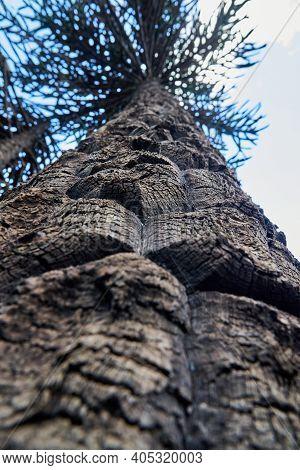 Detail With Shallow Depth Of Field Of An Araucaria Araucana, Monkey Puzzle Tree, Monkey Tail Tree, P