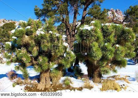Joshua Trees Besides Pinyon Pine Trees On A Rural High Desert Plateau At Snow Covered Badlands Taken