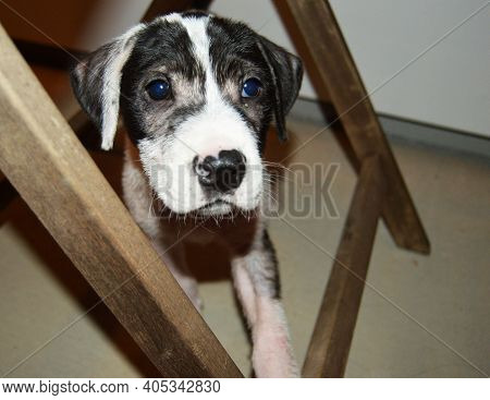 Black And White Puppy Dog Under Chair Legs On Concrete