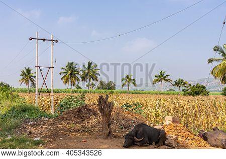 Siddanakolla, Karnataka, India - November 7, 2013: Landscape Of Field With Yellowing Corn And Black