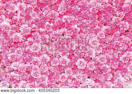 Beautiful Pink Carnation Flower,pink Flower  Of Carnation Flower