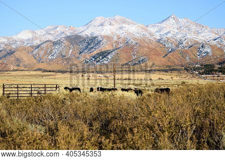 Cows Grazing On Grasslands At A Ranch Surrounded By Snow Covered Mountains Taken In The Rural Great