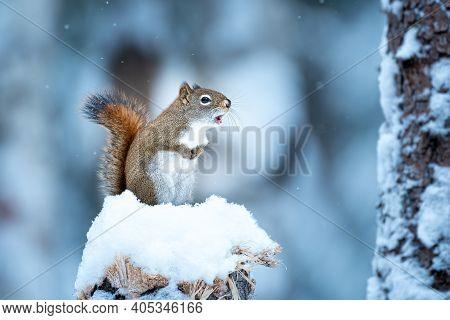 American Red Squirrel (tamiasciurus Hudsonicus) In Snow On Top Of A Stump