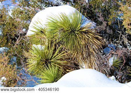 Joshua Tree Besides A Pinyon Pine Tree Covered With Snow Taken On The High Desert Plateau At The Moj