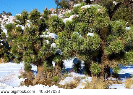 Joshua Trees Covered With Snow On The High Desert Plateau Taken At The Mojave Desert In A Joshua Tre