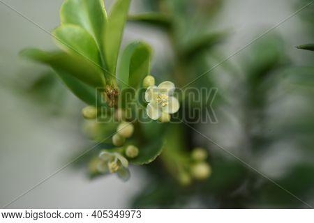 Japanese Holly (ilex Crenata) Flowers / Aquifoliaceae Evergreen Shrub.