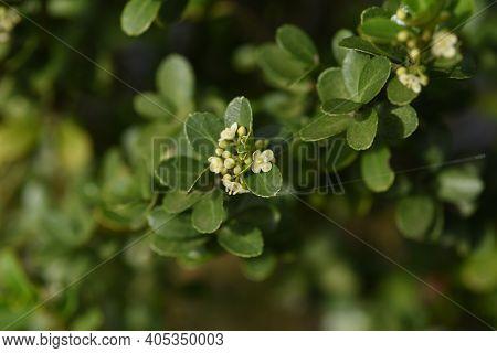 Japanese Holly /ilex Crenata  Flowers / Aquifoliaceae Evergreen Shrub.