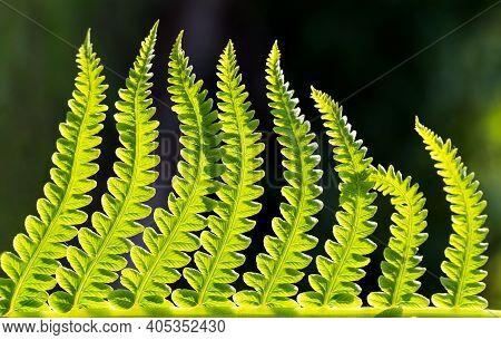 Close Up Green Fern Leaves In Sunlight On Selecive Focus Backgroud