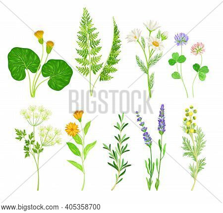 Medical Herbs With Flowering Camomile Plant And Clover Vector Set