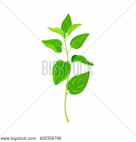Medical Herb Or Plant On Stem With Green Leaves With Serrated Margin Vector Illustration
