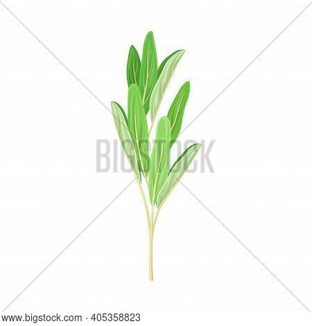 Green Medical Herb With Oblong Leaves On Stem Vector Illustration