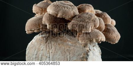 Shiitake Mushrooms on mycelium block.  It is considered a medicinal mushroom in some forms of traditional medicine