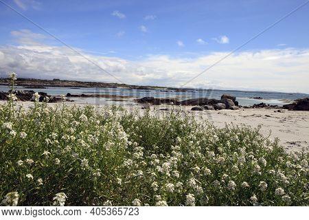 Connemara (ireland), - July 25, 2016: Flowers In Connemara Beach, Co. Galway, Ireland