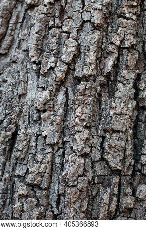 Grey Furrowed Scaly Plate Bark Of Southern Black Walnut, Juglans Californica, Juglandaceae, Native P