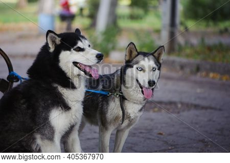 Two Dogs In The Autumn Park. Siberian Husky On The Street. Portrait Of Two Dogs. Black And White Wit