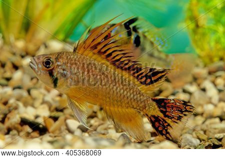 Apistogramma Cacatuoides Or The Cockatoo Dwarf Cichlid Is A South American Cichlid And The Apistogra