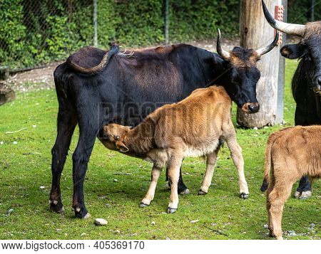 Baby Heck Cattle, Bos Primigenius Taurus, Claimed To Resemble The Extinct Aurochs.