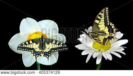 Butterflies On Flowers Isolated On Black. Colorful Swallowtail Butterfly On Chamomile Flower And Daf