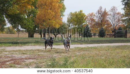 Blue Heeler Dogs running on the farm